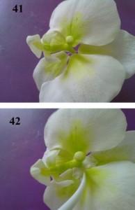 Орхидея из мастики пошагово